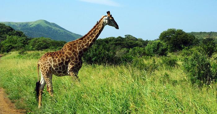 za_giraffe.jpg